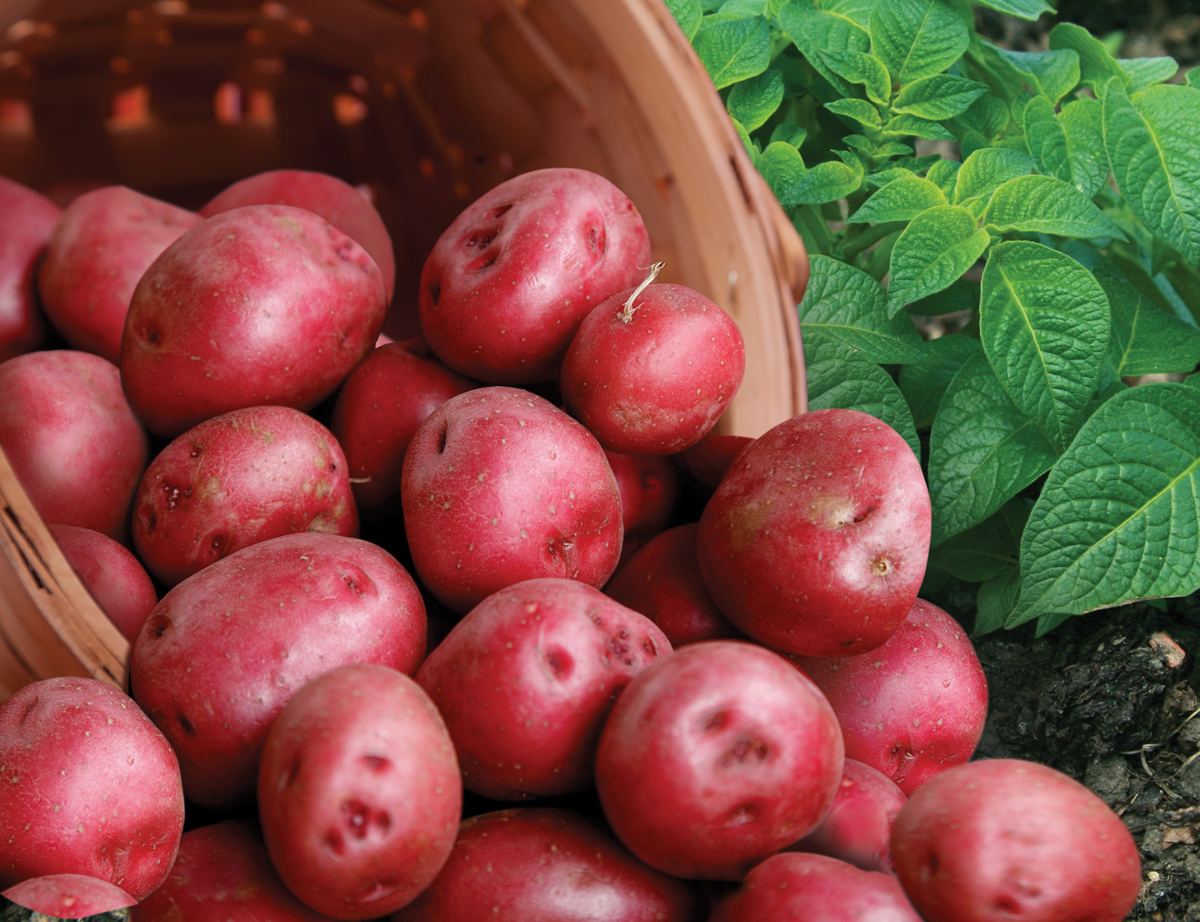 Seed Potatoes - Dutch Valley Growers