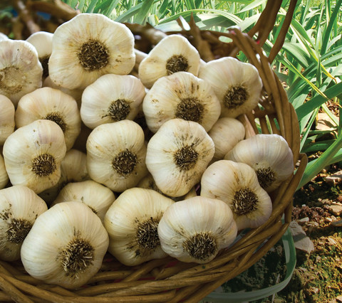 Vegetable Bulbs